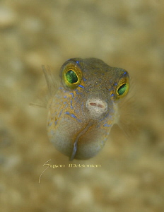 Baby Sharpnose puffer, shot with the subsee 10x! by Suzan Meldonian 